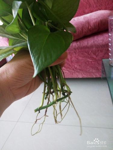 种植-水培绿萝