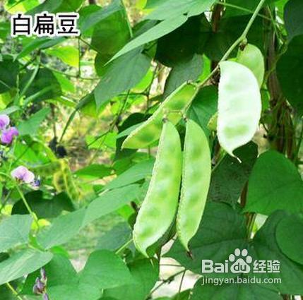 白扁豆的功效与作用及食用方法